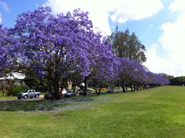 Jacaranda trees blooming in November in Brisbane.