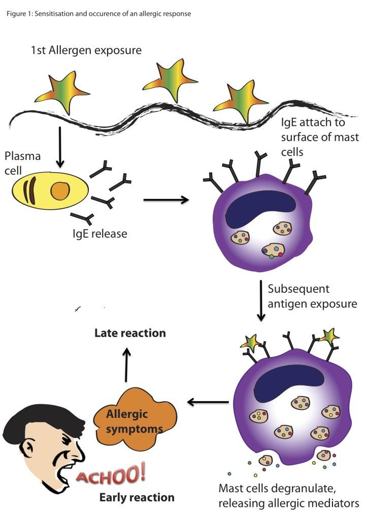 Figure 1. Allergen exposure causes secretion of IgE.  This leads to the release of allergic mediators (e.g., histamine),  causing allergic symptoms that can occur within seconds to minutes or hours. Constant exposure to the allergen could lead to chronic allergic reaction. Illustration by Sharrada Subramaniam.