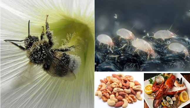 Pictures of the common types of allergens (from left, clockwise): Pollen that could be spread by bees (GS Martin / flickr); House dust mites not visible to the naked eyes (GS Martin/flickr); Seafood (M Jones/flickr); Variety of nuts (S Blackmore/sciencefocus.com)