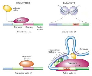 Overview of transcriptional regulation. Source: http://bit.ly/1Gpufb1