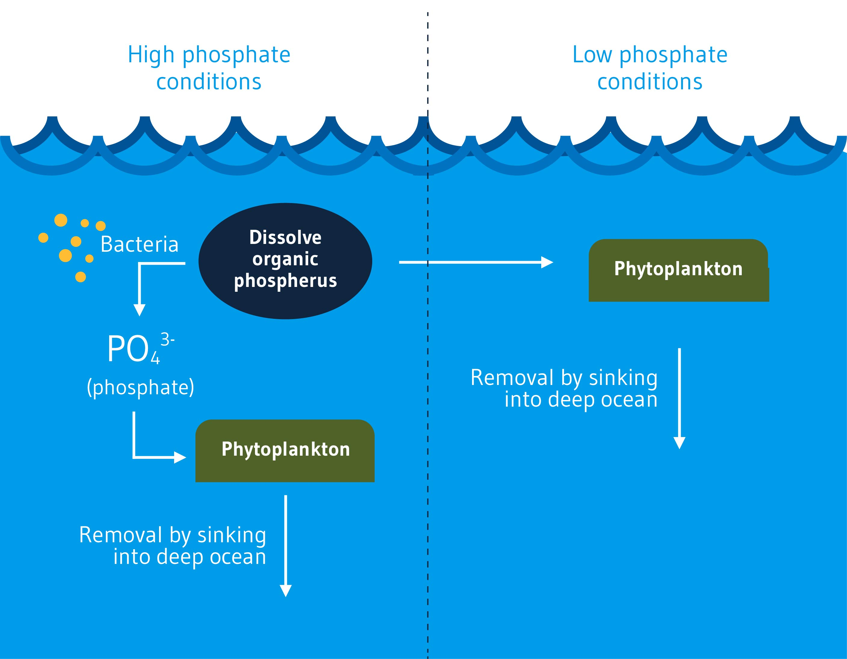 Fig. 1. Phosphorus cycle in the ocean. Phosphorus is required by all living organisms to make DNA, RNA, ATP (energy molecules), and other essential organic compounds. The most abundant phosphorus exists in the form of phosphate (PO43-) ions. In the ocean, phytoplankton utilize phosphate for growth under high phosphate conditions. After assimilation, a fraction of the phosphorus is released back to the ocean pool as dissolved organic phosphorus, which is in turn converted back to phosphate by bacteria. However, under low phosphate conditions, phytoplankton and other marine organisms will utilize dissolved organic phosphorus and/or scavenge for phosphate by releasing phosphate from organic molecules using alkaline phosphatase.