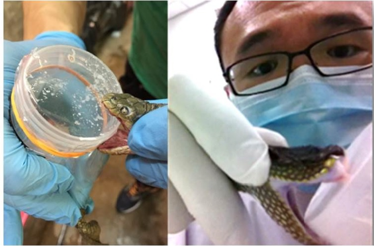 Figure 1: A marine (left) and an arboreal (right) snake were identified and carefully milked for their venoms by the author. Snake species identity and their habitat location are important information for Dr Tan's research, as venom toxins can vary significantly among snakes.