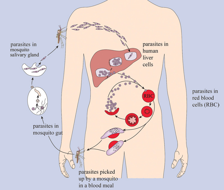 Figure 1: The life cycle of malaria plasmodium (Image credit: OpenLearn Works)