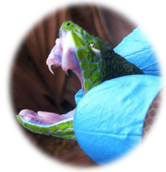 Figure 2: Feared or loved, but rarely understood – venomous snakes do not prey on humans and envenomations are usually results of unpleasant encounters between humans and snakes – feeling threatened, the fangs (in this picture, a pit viper with its front fangs shown) and the venom channelled through them become the best bio-weapon for the snake. Venoms leave an impact on human lives in a paradox: the side that can kill and destroy, and the other side that serves as a rich pool of novel bioactive compounds, from which drug discovery can be made.