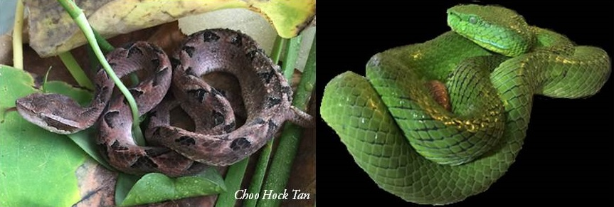 """Figure 3: Examples of local """"haemotoxic"""" snakes: Malayan pit viper (left) and Cameron Highland pit viper (right). Envenomation by these species can cause similar pattern of bleed- ing disorder, but requires different kind of monovalent antivenom for effective treatment due to the differences in the molecular makeup of their venom toxins."""